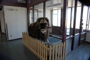 A stuffed Muskox on display in the arrivals area of the airport